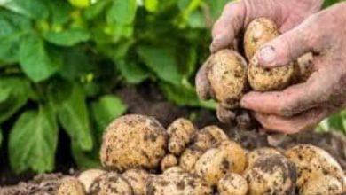Photo of توقعات بانخفاض أسعار البطاطا